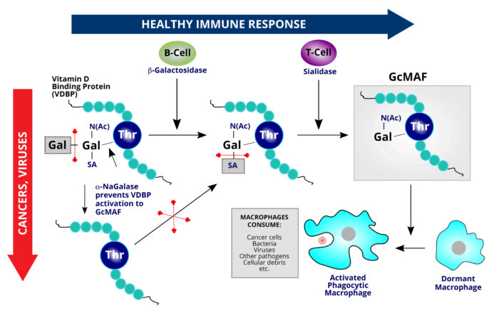 [Sunivera Immunotherapy] Mechanism of Action of GcMAF in the Body